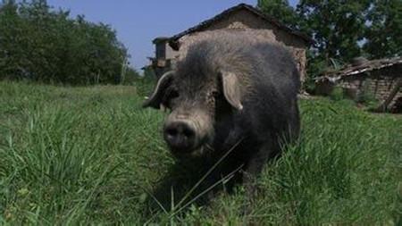 养种公猪要注意高温问题