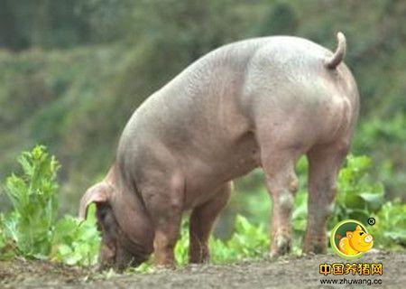 种公猪的科学饲养