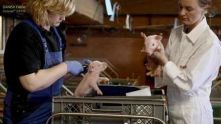 公猪的精细饲养与护理