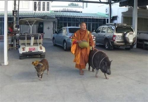 """现实版猪八戒!泰国僧人带""""野猪弟子""""化缘"""