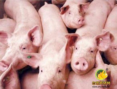 霉菌毒素对养猪的危害--一看吓一跳