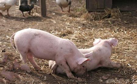 新生仔猪低血糖症的发生及其防治