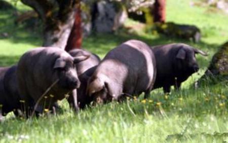 影响猪肉品质的遗传因素