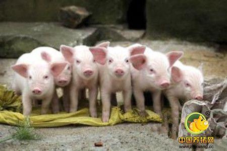 规模化猪场种猪的多阶段选育方法