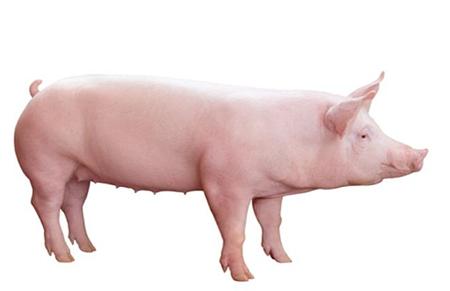 猪链球菌病来势凶猛,养殖户可要当心了!