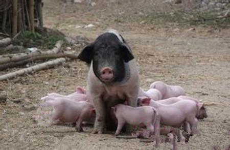 猪传染性胸膜肺炎可以这样预防和治疗