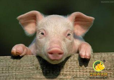 猪的10种细菌性疾病