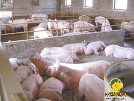 十二月行情冬季养猪之戏说明年猪价