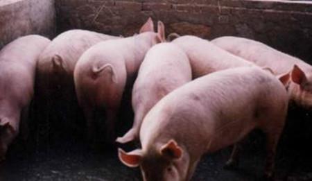 冬季养猪管理措施