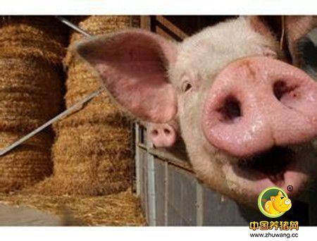 春节还有一个月 猪场按时出栏还是压栏等价