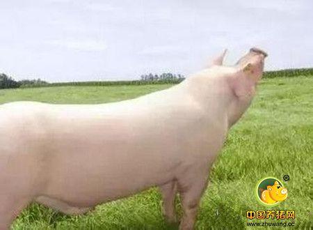 养猪场饲养管理的一些小指标,你达标了吗?