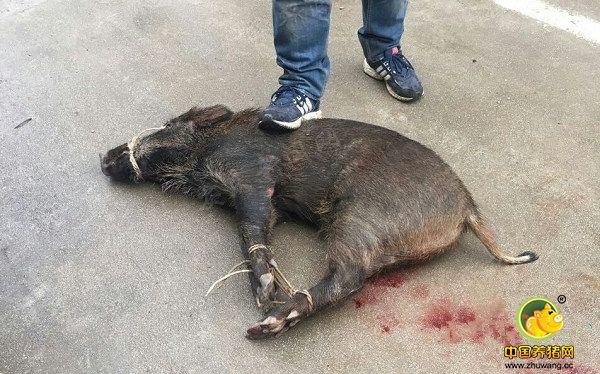 12月26日,安庆市民张女士称,新世纪花园小区突然闯入一头野猪。这头野猪凶猛暴躁,在小区内横冲直撞,居民们惊恐不已,担心遭到攻击。幸亏有人带着猎犬前来围捕,将这头野猪制服。