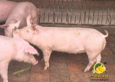 母猪非传染性不孕
