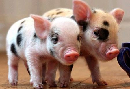 第五届全球猪业论坛暨第十五届(2017)中国猪业发展大会日程