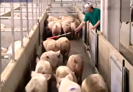 实拍生产化机器杀猪过程 批量从活猪到猪肉让屠夫都看傻眼了