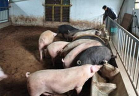 提高养殖效益,规模猪场要这么做,今年还能是金猪年!