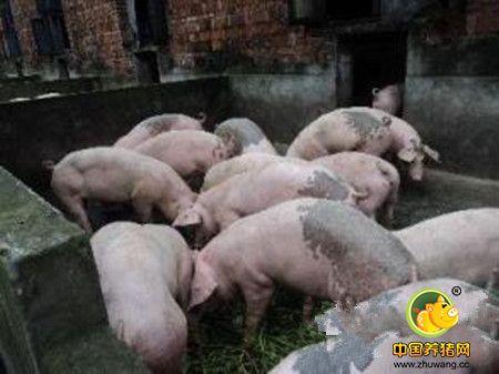 冬季养猪谨记五项管理重点