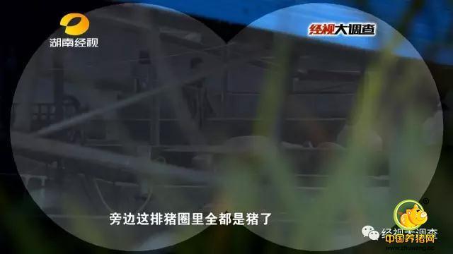 当天上午,记者赶到湘潭杨嘉桥镇,附近居民透露,猪的惨叫声就来自这家偏僻的生猪中转站。此时,生猪中转站里静悄悄的。