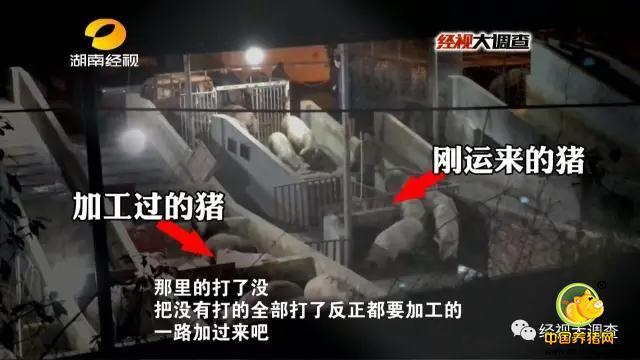 晚上八点半,这个生猪中转站似乎迎来了一天中的生意高峰,越来越多的运猪车开了进来,保养员熟练地将猪赶进猪圈。