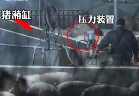 """记者暗拍 无良商贩""""泥浆灌猪""""让每头猪增重20斤"""