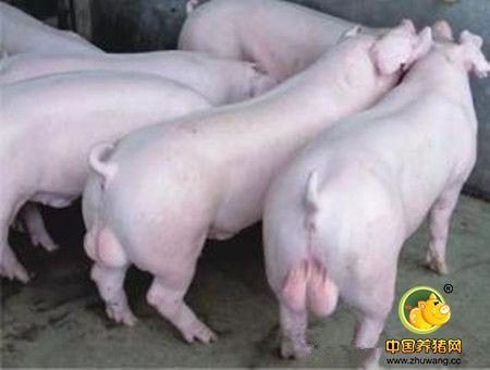 """中大猪及经产母猪的常发病""""增生性回肠炎""""的防控措施"""