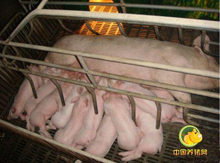 没有B超机,怎么有效准确的判定母猪是否怀孕?
