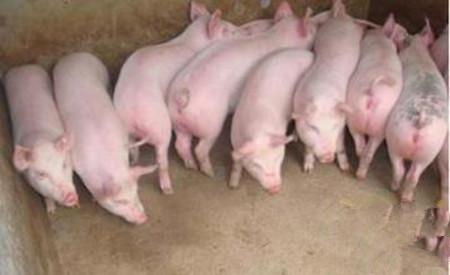我彻底惊呆了,你竟然对管理猪场有这么离谱的误解!