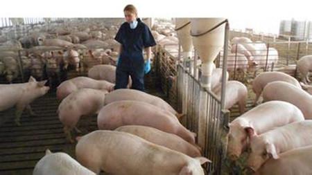 加拿大科学家 研究保育猪所需的最佳生长空间