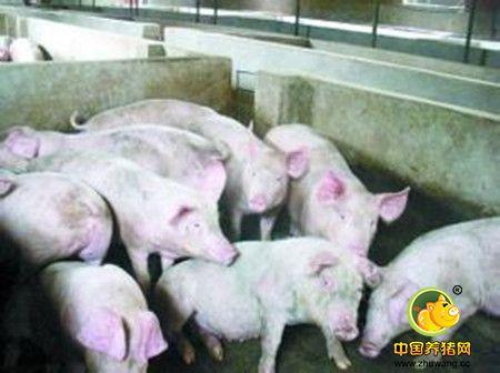 如何掌握怀孕母猪喂料量的方法?