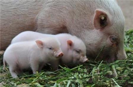 母猪的病毒性繁殖障碍