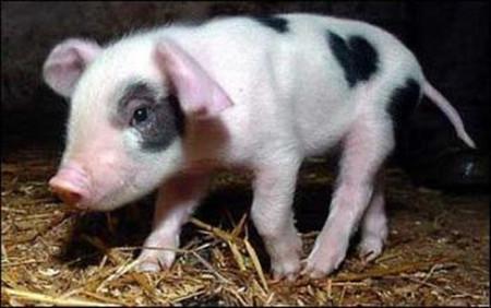 """母猪繁殖""""三巧法"""""""