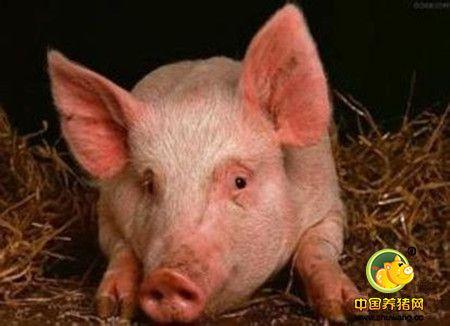 猪的病毒性传染病-- 蓝眼病