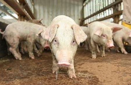 母猪寄养可提高仔猪的成活率