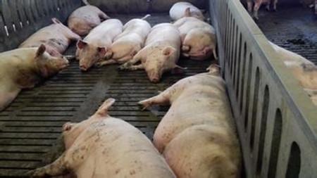 母猪配种及怀孕饲养管理技术