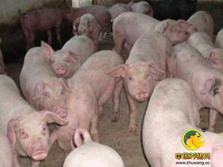 史上最全面地猪喘气病诊治及治疗方案