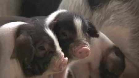 母猪难产造成损失很大原因是你助产不利