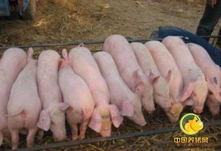 仔猪成活母猪乳汁很重要,母猪奶水质量好仔猪存活率高