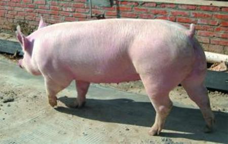 浅谈大约克母猪高产期的利用,大约克母猪高产期利用技术