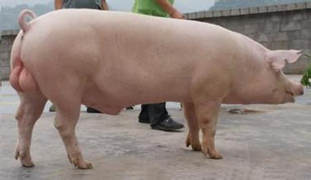 怎样调教公猪?调教公猪的三种方法