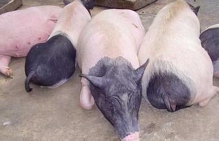 给母猪催奶的四种土方,母猪催乳四个偏方