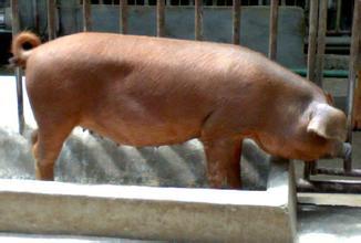 后备母猪首次配种需要注意的事项,怎样按排后备母猪的首次配种时间