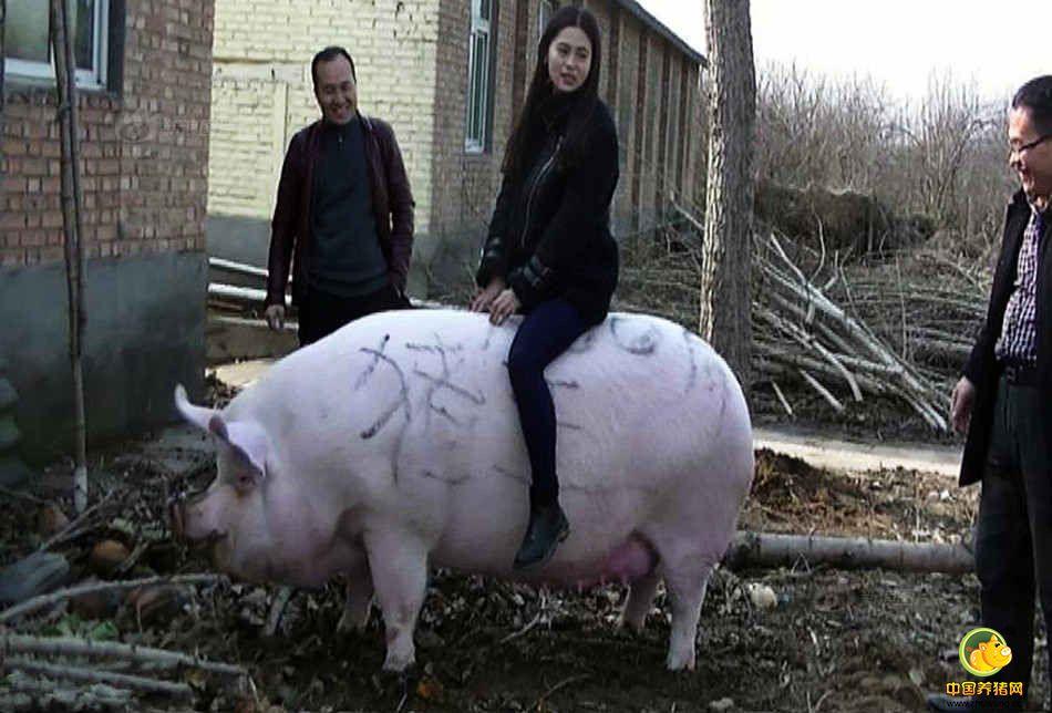 """2017年1月8日,郑州黄河滩地,一头体长2.1米,体重1500斤的大肥猪被一名胆大的女子当做""""小牛""""骑了起来。托着人的大肥猪,不但走动灵活自如,且不忘记在路边悠闲的寻找着食物。"""