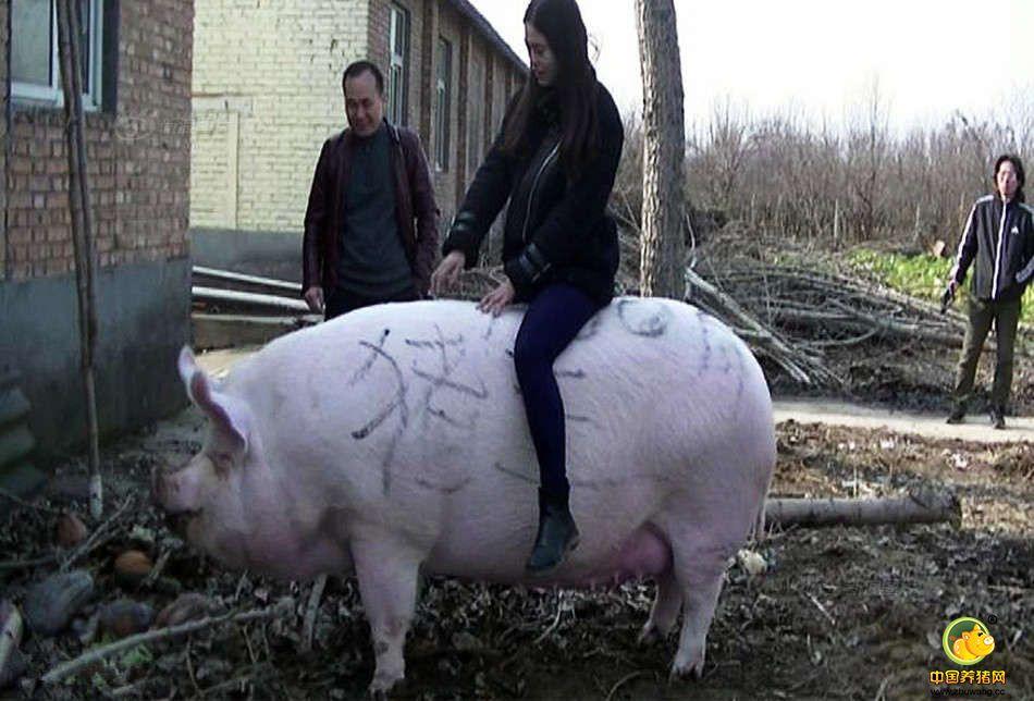 """当日,一场由黄河滩养殖协会举办的""""猪王争霸赛""""在黄河滩头多家养殖基地中进行角逐,最终这头1500斤重,体长2.1米,高1.05米的白毛大猪在PK掉几十头大肥猪后,夺得争霸赛""""猪王""""称号。"""