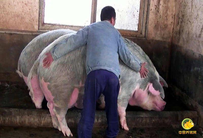 """据饲养员张师傅称,此次夺魁的""""猪王""""一种名叫康贝尔的品种猪饲养时间已经3年了,它除了能吃,个头大,像牛一样,性情还特别温顺。据他所知,湖南的一头""""猪王""""曾经养了5年,体重2080斤,他所饲养的这头猪目前才3年,他会留下来继续喂,看看它到底能长到多大。"""