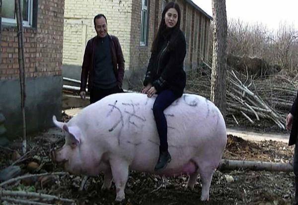 """郑州1500斤大猪成""""猪王"""" 可以当牛骑"""