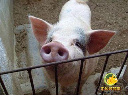 五大原因引发猪呼吸道疾病,看完恍然大悟!