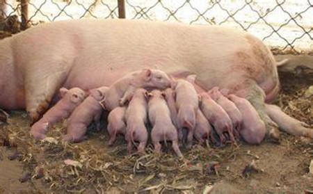 腹泻、咳嗽易造成冬春季猪脱肛,防治方案