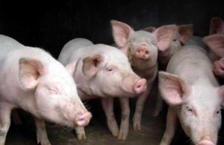 冬季养猪防寒有技巧
