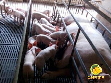 母猪繁殖障碍的原因预防及处理的措施