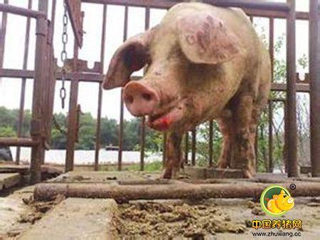 掌握母猪的发情规律